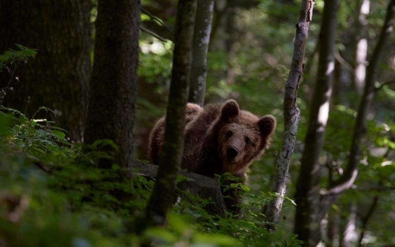 slovenia_bear_000