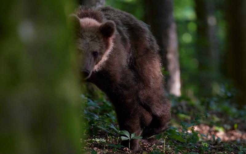 slovenia_bear_005