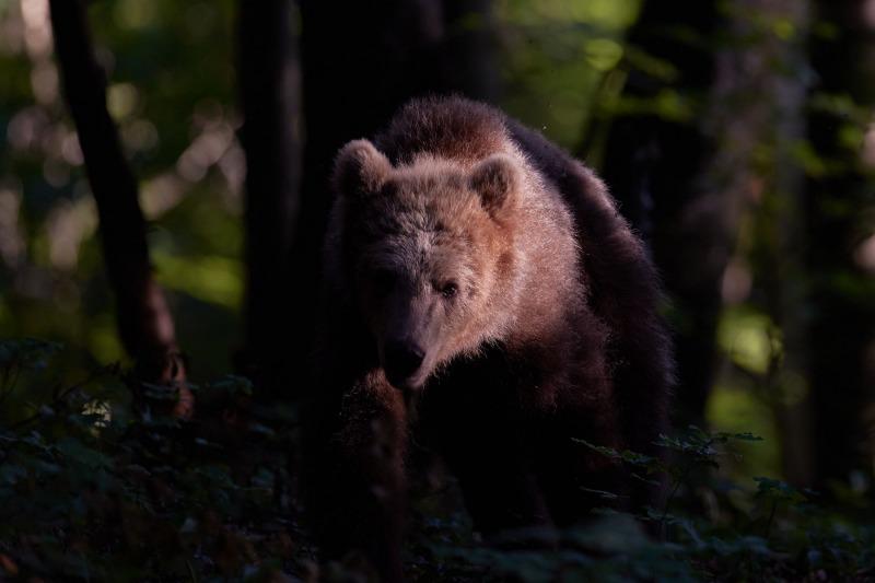 slovenia_bear_008