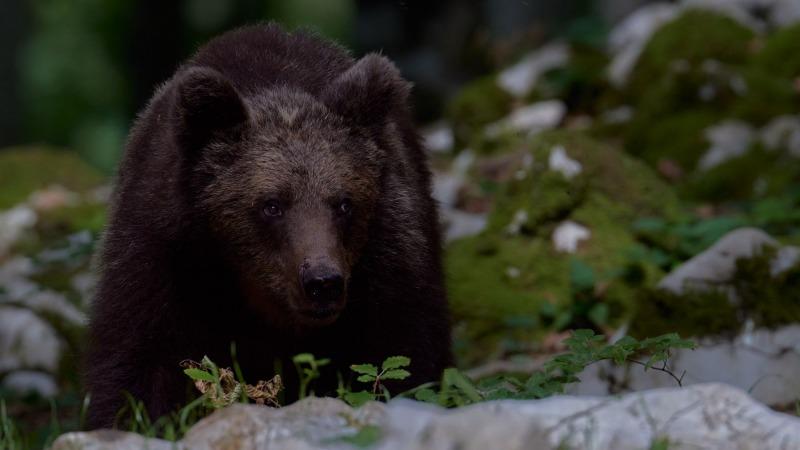 slovenia_bear_013