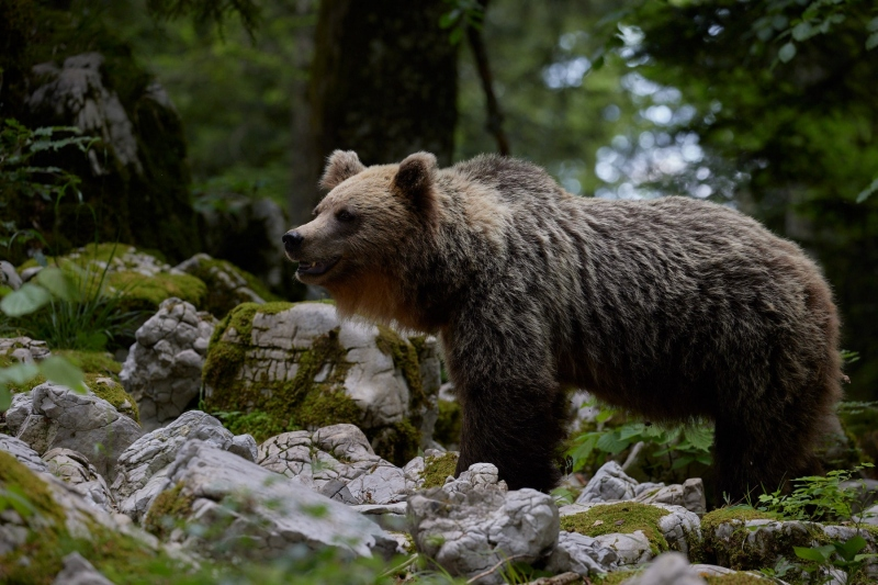 slovenia_bear_014