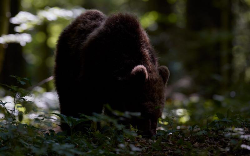 slovenia_bear_016