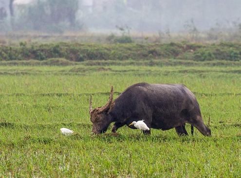 vietnam wasserbueffel